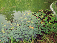 Water Lilies On Quiet Pond