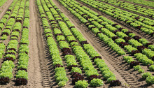 Fresh Lettuce Sprouts On The Cultivated Field With The Fertile S
