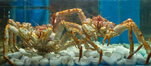 Two Huge Kamchatka Crabs In Th...
