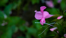 Kanakambaram Flower In The Backyard
