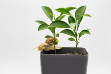 Two Lemons Grow In A Flower Pot Isolated On White Background. Grape Snail Moving On The Flower Pot.