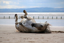 Grey Horse Rolling On Beach