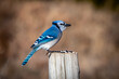 Blue Jay (Cyanocitta cristata) sitting on a pole