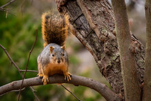 Eastern Fox Squirrel (Sciurus ...