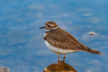 A Beautiful Little Killdeer (Charadrius Vociferus) On The Shore Of Lake Hefnerin Oklahoma City
