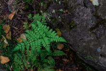 Green Fern Leaf Near Textured Moss Stone In Forest Ground With Leaves