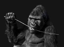 Gorille Mangeant Noir Et Blanc