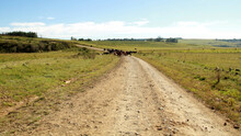 Fine Art, Color, Landscape Photo Of Cattle On A Dirt- Road In QwaQwa, Eastern Free State. Green And Peaceful.