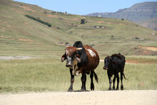 Landscape Photo Of Cows On A Dirt Road Near QwaQwa, Eastern Free State, South Africa. Blue Sky. Nguni, Long Horns. Wall-Art