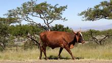 Landscape Photo Of A Nguni Bull Strolling Allong A Dirt Road Near QwaQwa, Eastern Free State, South Africa. Blue Sky. Nguni, Long Horns. Wall-Art