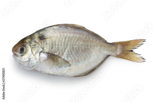 Fototapeta japanese butterfish isolated on white background obraz
