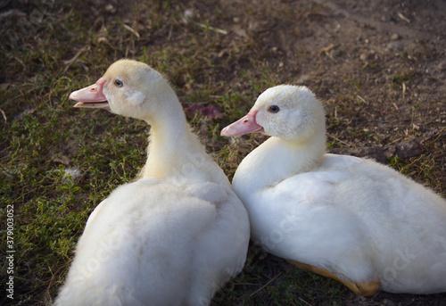 Fototapeta ducks baby farm birds white feathers fowl  obraz