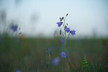 Blaue Rundblättrige Glockenblume, Campanula Rotundifolia, In Einer Wiese