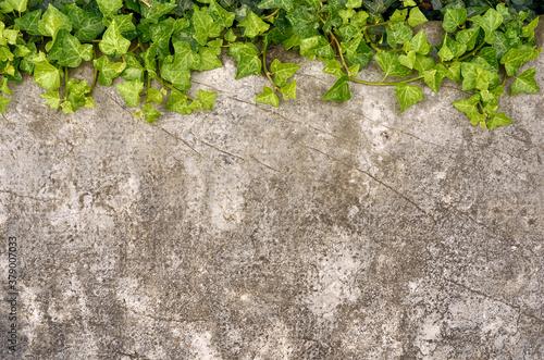 Fotografie, Obraz Planta trepadora verde sobre piedra antigua