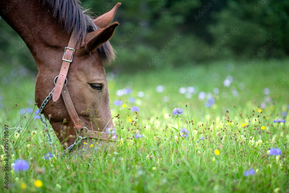Fototapeta Head of mule with roached mane and halter grazing in blooming wildflower and grass mountain meadow