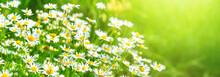 Chamomile Flowers (Matricaria ...