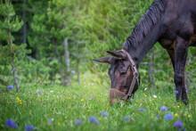 Head Of A Black Mule Grazing I...