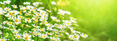 Chamomile flowers (Matricaria recutita), blooming plants in the spring meadow on Canvas
