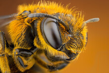 Extreme Close Up Of A Bee Head...