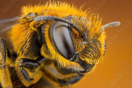 Fototapeta extreme close up of a bee head portrait obraz