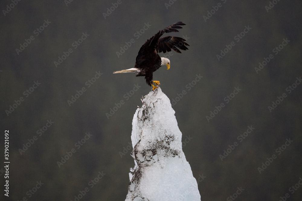 Fototapeta Bald Eagle Landing on Iceberg, Alaska