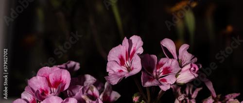bonitos geranios capturados en la noche Canvas