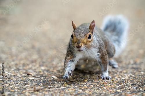 Fototapeta squirrel in the park