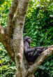Bonobo on the tree.