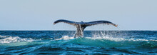 A Humpback Whale Raises Its Powerful Tail Over The Water Of The Ocean. The Whale Is Spraying Water. Scientific Name: Megaptera Novaeangliae. South Africa.