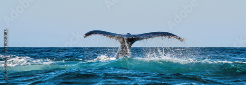 Fotografia, Obraz A Humpback whale raises its powerful tail over the water of the Ocean