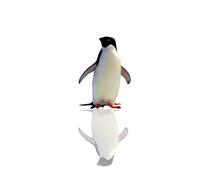 Penguin Isolated On White Back...
