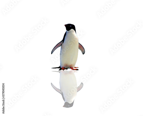 penguin isolated on white background Canvas Print