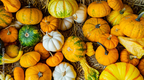 Fresh pumpkin in Fall harvest season. Autumn season with organic fruit and vegetable for Halloween and Thanksgiving festive.