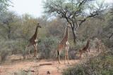 Fototapeta Sawanna - giraffe in the savannah