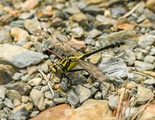 Common Clubtail (Gomphus Vulga...