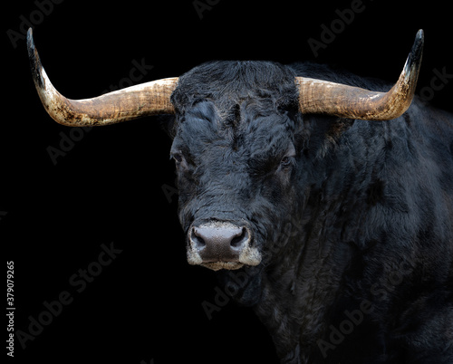 Portrait of a bull with black background Poster Mural XXL