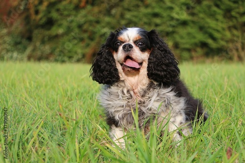 Fototapeta small tricolored cavalier king charles spaniel is sitting in the green garden