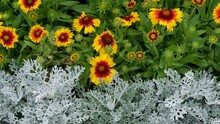 Colourful Flowerbed Contrasting Ice White Foliage And Red And Yellow Gaillardia