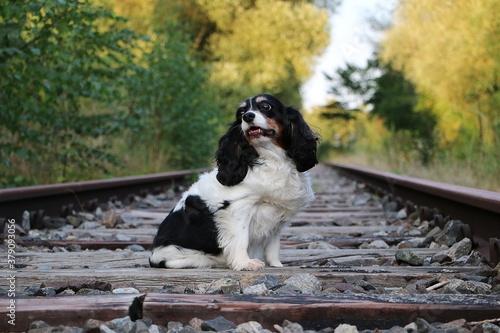 Valokuva handsome tricolor cavalier king charles spaniel sitting on empty train tracks