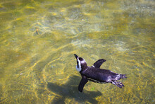 Penguins Swimming In A Shallow...