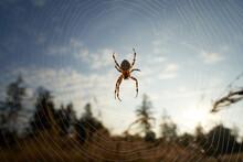 Garden Spider (Araneus) In The...