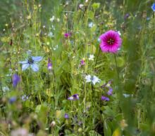 Bunte Sommerblumenwiese Mit Bunten Blüten Zur Freude Und Nutzen Der Menschen, Tiere, Natur Und Umwelt