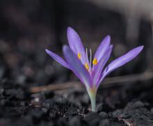 Growing Saffron Flower Close-up