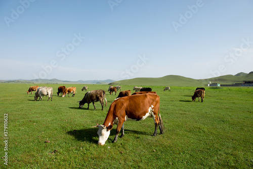 Photo Cows of all colors grazing on the grassland under the blue sky and white clouds