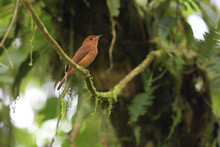 Rufous Mourner Perched On Moss Branch