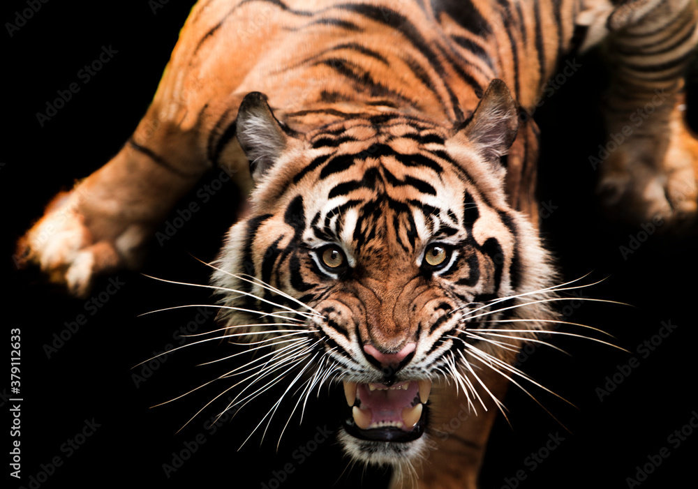 Fototapeta portrait of a sumatran tiger