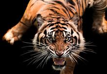 Portrait Of A Sumatran Tiger