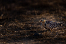 Painted Sandgrouse Or Pterocle...