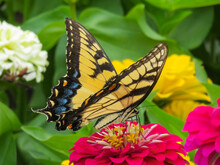 A Horizonal Photograph Of A Female Eastern Tiger Swallowtail Butterfly On A Red Zinnia Flower With Green, Orange, Yellow In The Background.