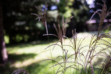 Ornamental Grass, Close Up With Blurred Natural Background.